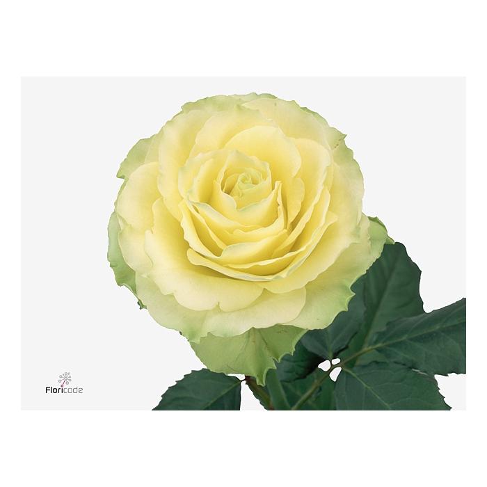 <h4>Rosa Gr. Limbo</h4>