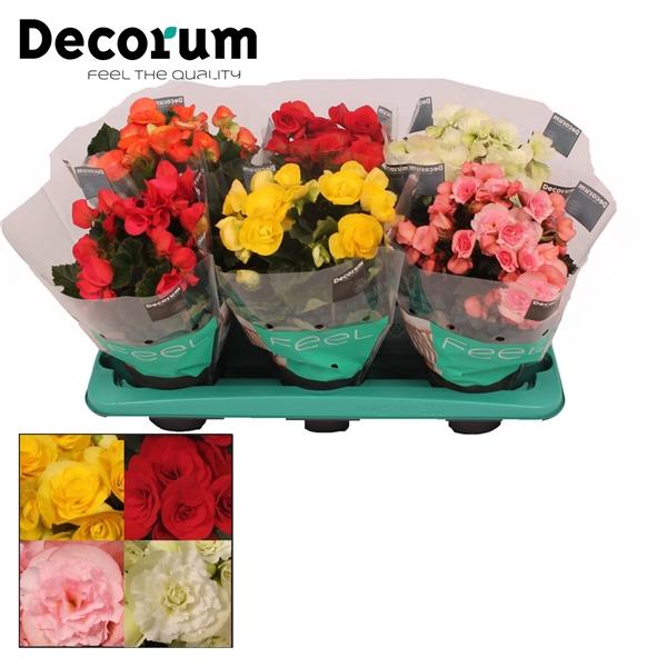 <h4>Begonia 13cm mix in tray(5 kleuren) Decorum</h4>