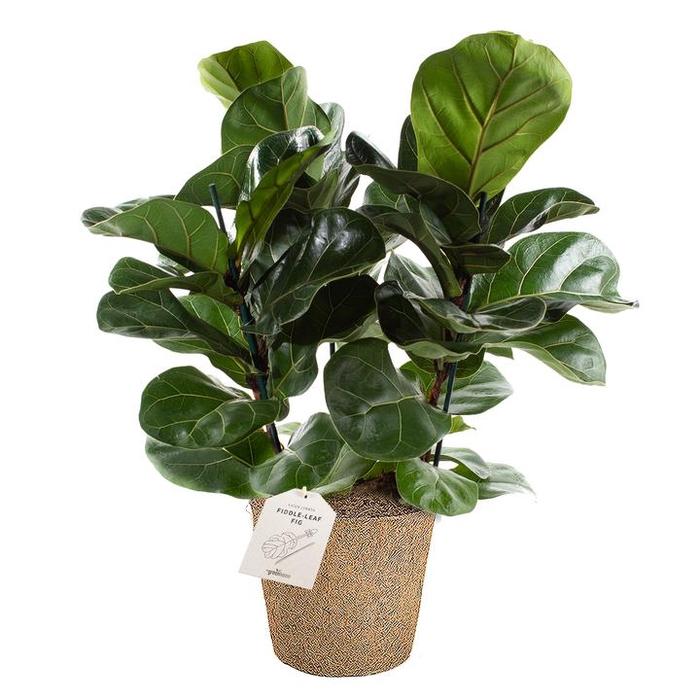 <h4>Ficus Lyrata Bush 17Ø 50cm</h4>