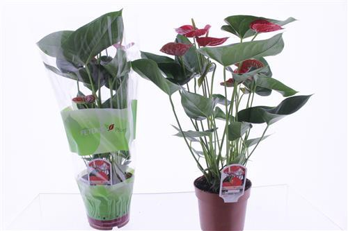 <h4>Anthurium Red Winner</h4>