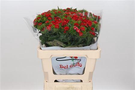 <h4>Di Ba Aldo Red</h4>