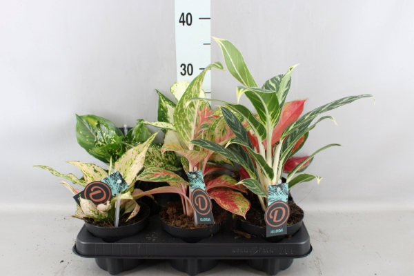 <h4>Aglaonema   ...mix</h4>