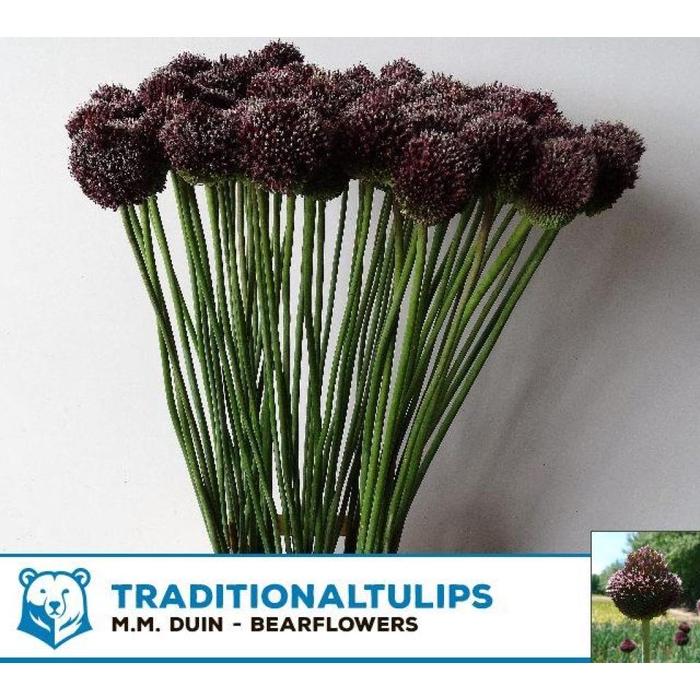 <h4>Allium Forelock</h4>