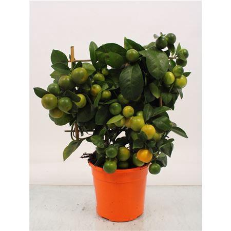 <h4>Citrus Calamondin Op Rek</h4>