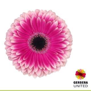 <h4>Gerbera Prelude</h4>
