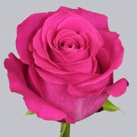 <h4>R Gr Pink Floyd! Hot Pink 70cm EC</h4>