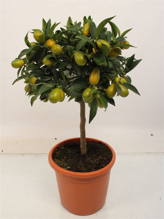 <h4>Citrus Kumquat Stem</h4>