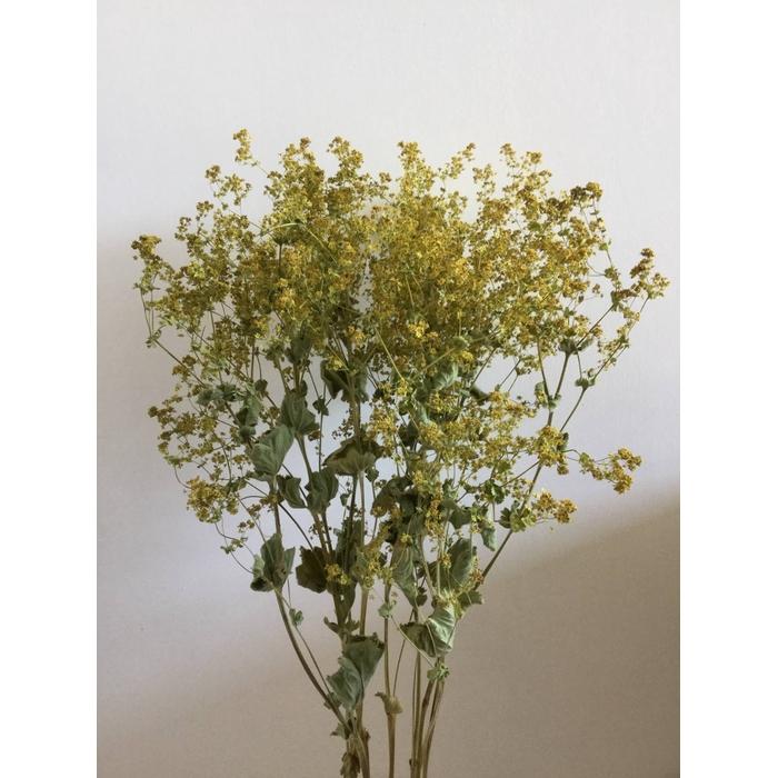 <h4>DRIED FLOWERS - ALCHEMILLA GREEN 10PCS</h4>