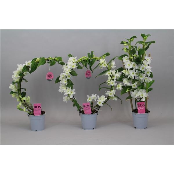 <h4>Dendrobium Nobilé, Special 'Mix'</h4>