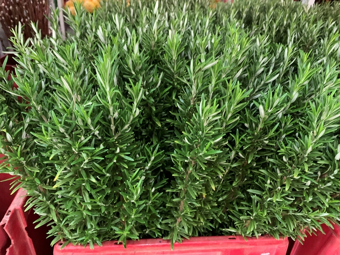 <h4>Greens - Rosemary</h4>