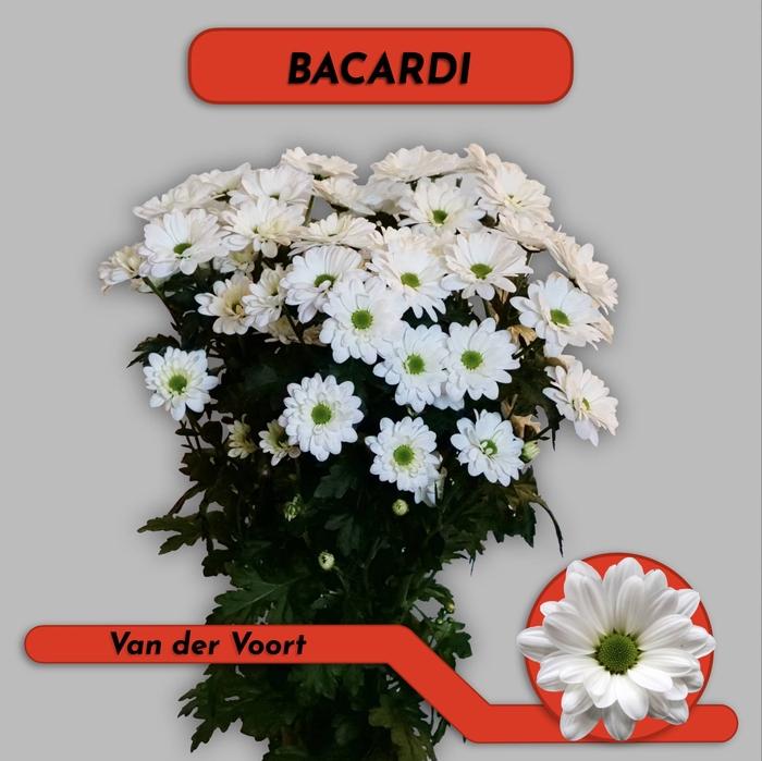 <h4>CHR T BACARDI</h4>