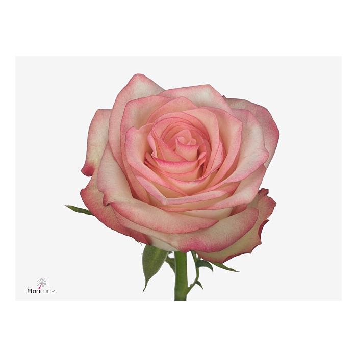 <h4>Rosa Gr. Paloma</h4>