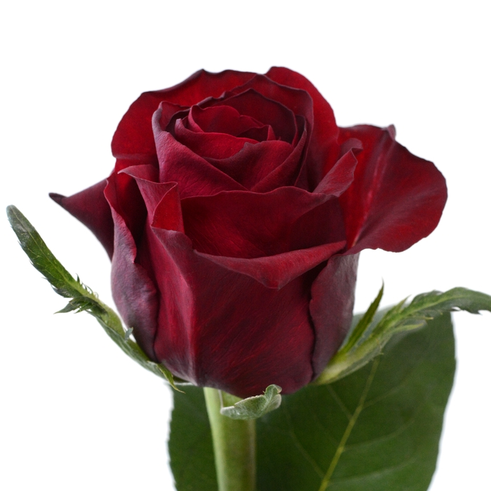 <h4>Rose Ever Red</h4>