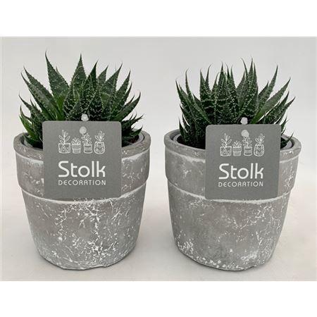 <h4>Aloe Aristata In Stone Look Pot</h4>