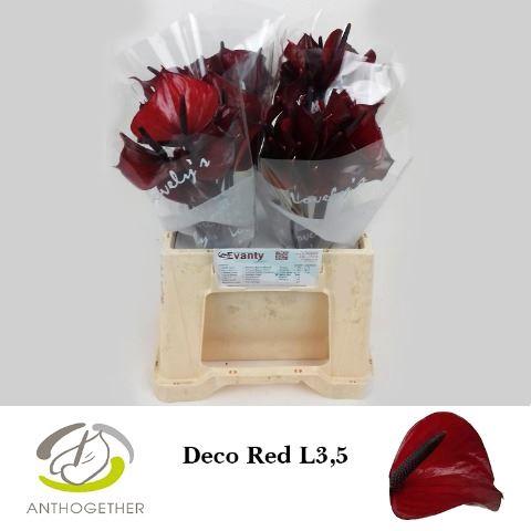 <h4>Anthurium andr. 'Deco Red'</h4>