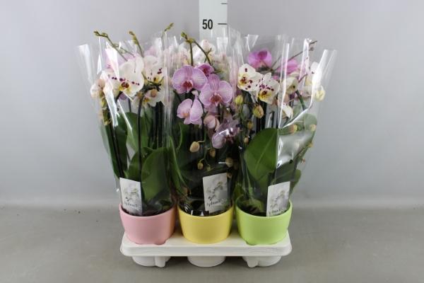 <h4>Phalaenopsis  'Elegant Cascade'</h4>