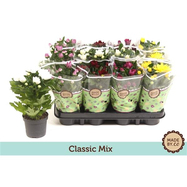 <h4>Chrysanthemum mix</h4>