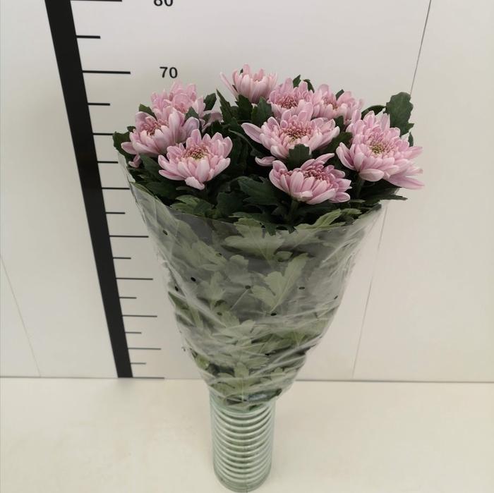 <h4>Chrysanthemum monoflor zembla rosa</h4>