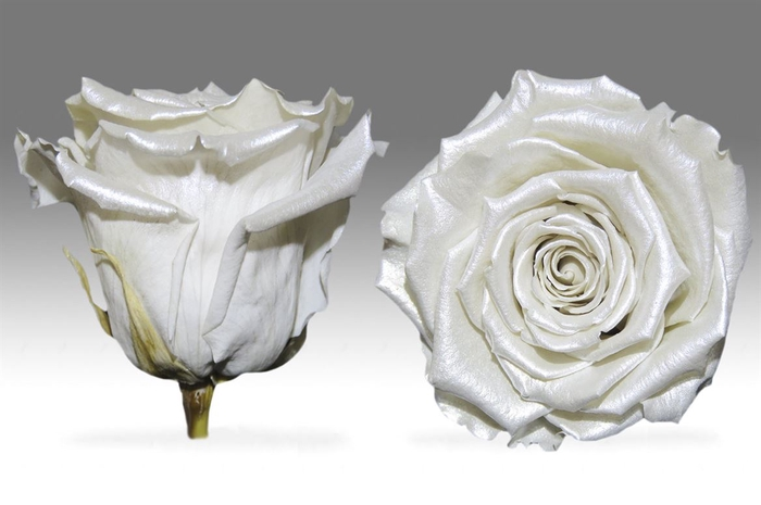 <h4>PRESERVED ROSA XL PEARL WHITE</h4>