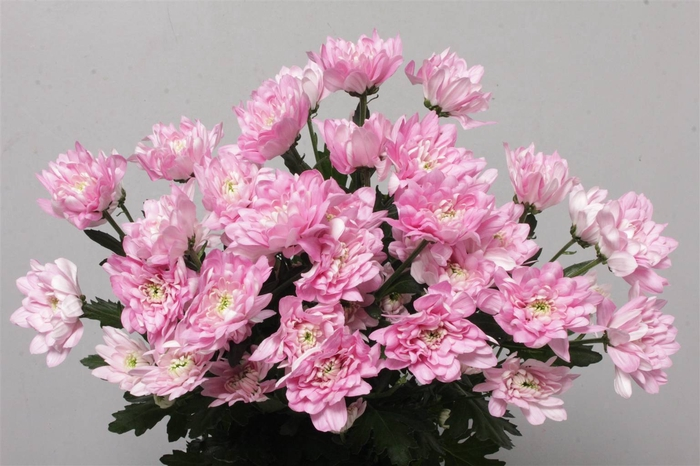 <h4>Chrysant T Baltica Pink</h4>