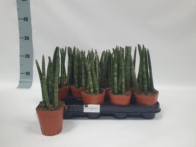 <h4>Sansevieria cyli. overig</h4>