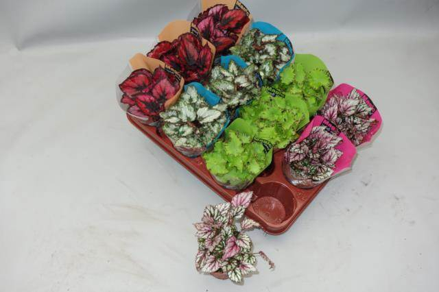 <h4>Begonia Magic Col Gemengd</h4>