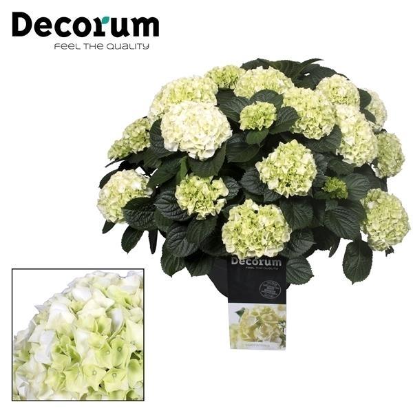 <h4>Hydrangea White in sierpot 20+ kop (Decorum)</h4>