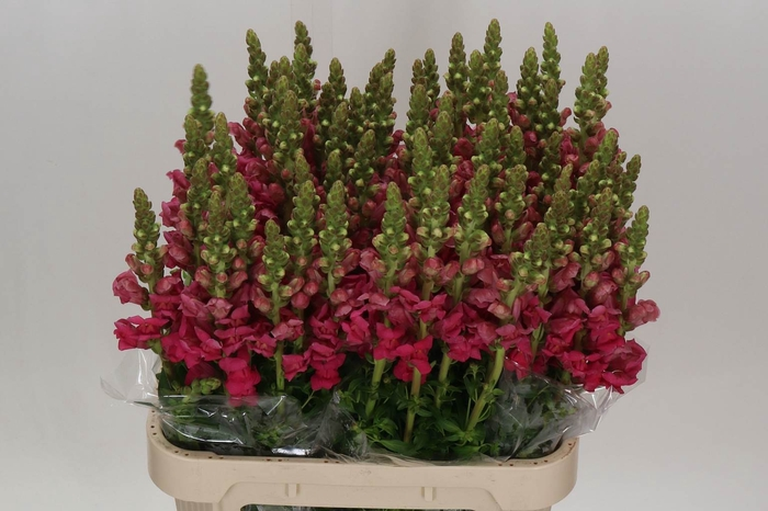 <h4>Antirrhinum Avignon Rose</h4>