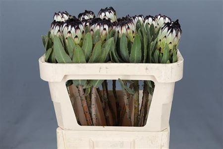 <h4>Protea Niobe</h4>