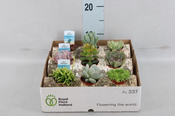 <h4>Succulents   ...</h4>