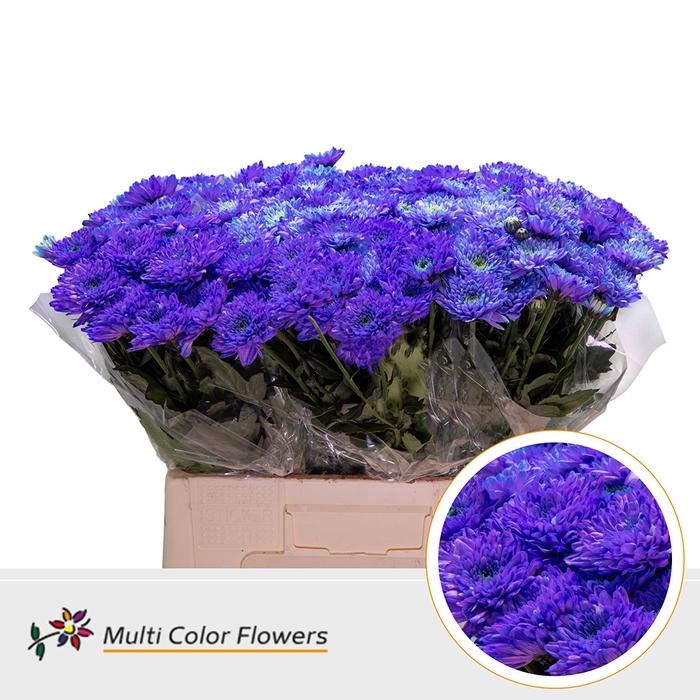 <h4>Chr. Baltica  wit Violet Donker</h4>