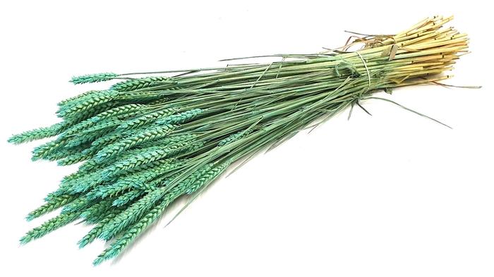 <h4>Triticum (tarwe) per bunch Frosted Light Blue</h4>