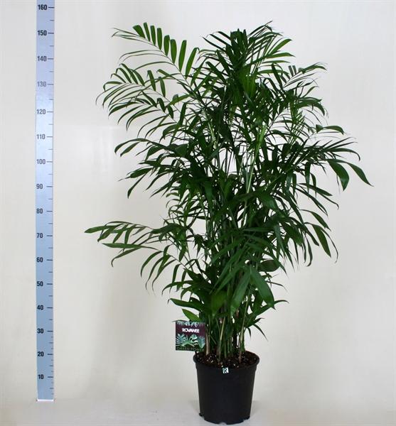 <h4>Chamaedorea seifrizii</h4>
