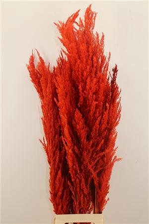 <h4>Dried Pampas Gras Rood ( 8 Stem )</h4>