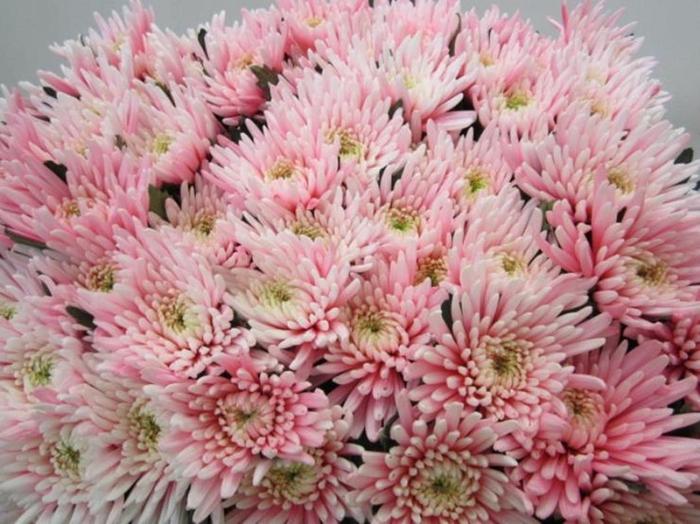 <h4>Chr G Topspin Pastel Pink</h4>