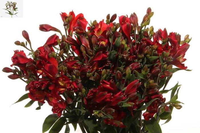 <h4>Alstr Flor Dynamite Extra</h4>