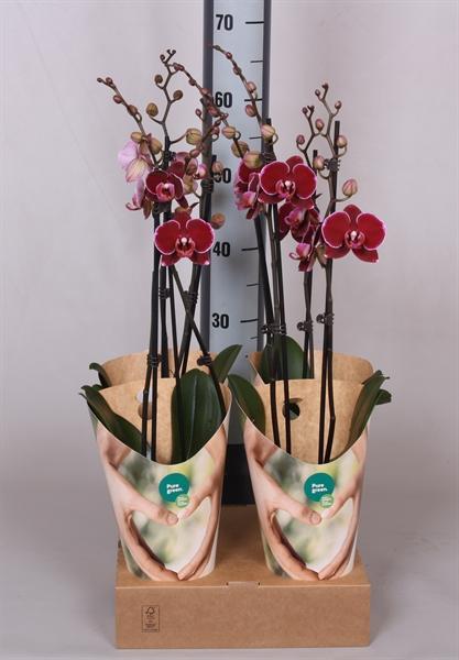 <h4>Phalaenopsis   ...red</h4>