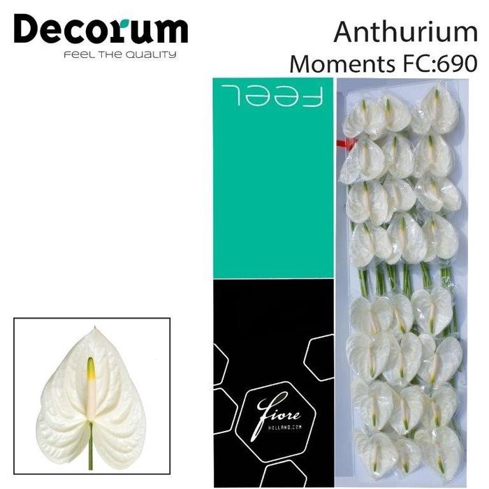 <h4>Anthurium Moments</h4>