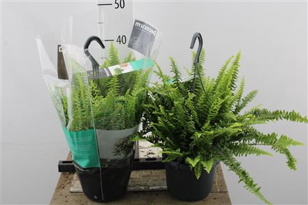 <h4>Nephrolepis Green Lady Hang</h4>