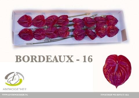<h4>Anthurium andr. 'Bordeaux Imp'</h4>