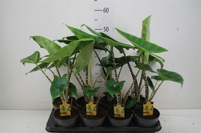 <h4>Alocasia Zebrina 'little Zebrina'</h4>