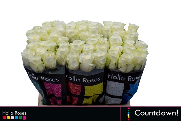<h4>Rosa grootbloemig Countdown!</h4>