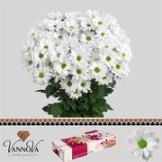 <h4>Chrysanthemum spray Kennedy (80 gr)</h4>