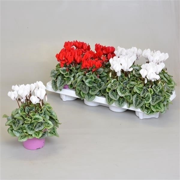 <h4>Cyclamen SS Picasso Rood-Wit mix</h4>
