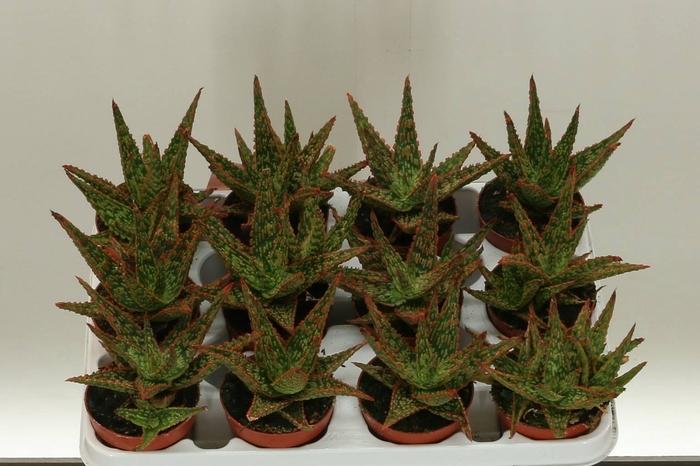 <h4>Aloe Vitro</h4>