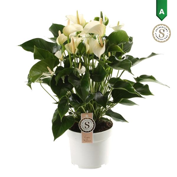 <h4>Anthurium White Champion</h4>