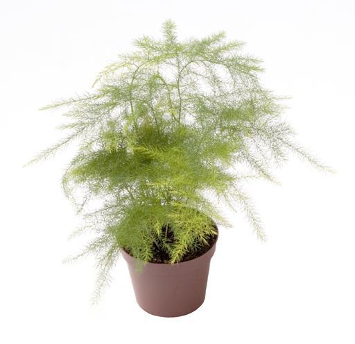 <h4>Asparagus Plumosus 6Ø 15cm</h4>