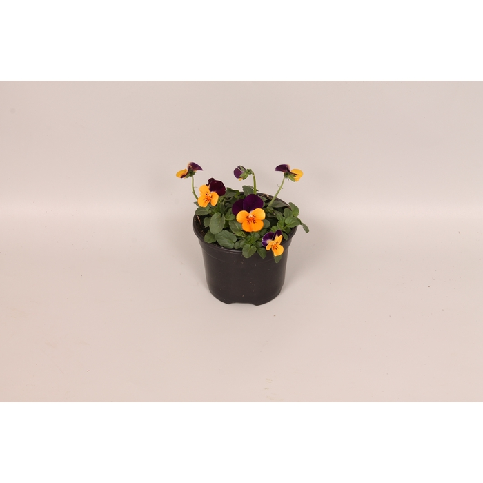 <h4>Viola cornuta F1 Orange with purple wing</h4>