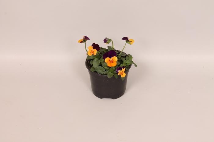 <h4>Viola cornuta F1 Orange with purple wing imp.</h4>