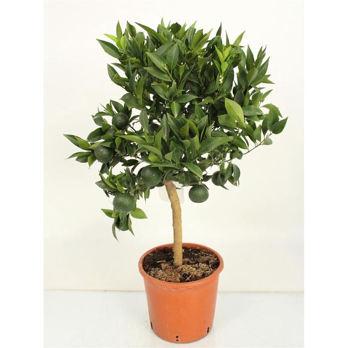 <h4>Citrus Reticulata Mandarino Stem</h4>